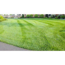 Fescue Lawn Grass