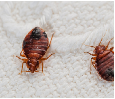 Bed Bugs Treatment Service In Mumbai Andheri West By Executioners