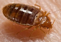 Bed Bug Control Services in Kolkata