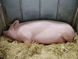 Largewhite Yorkshire, Weight: Upto 350 Kg