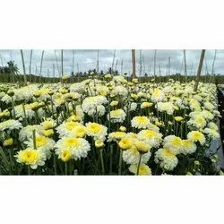 Well Watered and Fast Growth Chrysanthemum Plant, For Garden