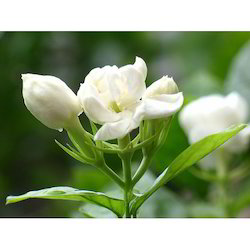 jasmine flower in delhi latest price and mandi rates from dealers