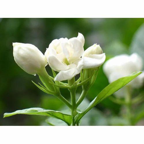 fresh jasmine flower at rs 50 piece jasminum sambac mogara pal