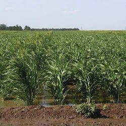 Sorghum Sudangrass