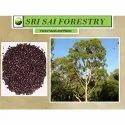 Eucalyptus Citriodora Seed