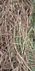 Green SUPAR NAPIER GRASS SLIPS
