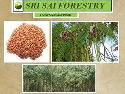 Sesbania Grandiflora Seeds