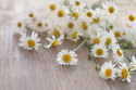 Chamomile German Hydrosol Oil