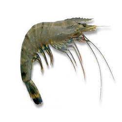King Prawn Black