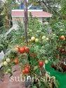 Tomato In Subhiksha Grow Bags