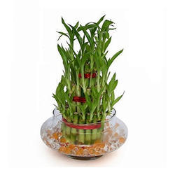 Spiral Lucky Bamboo Plant