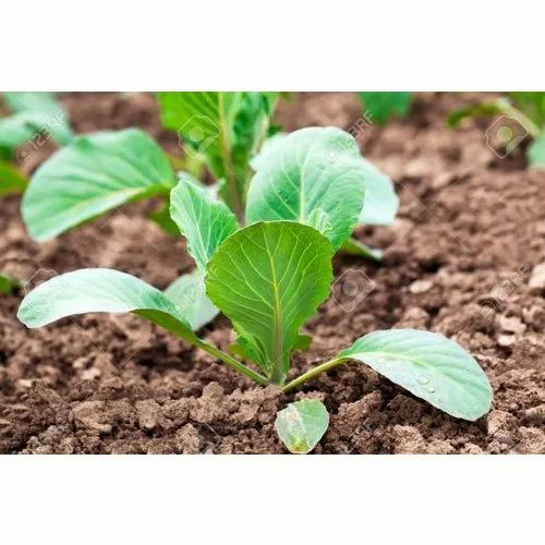 Cabbage Organic Plant, Packaging Type: Plastic Bag