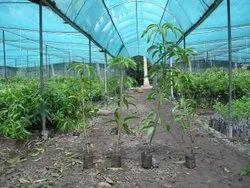 Alphonso Mango Plant