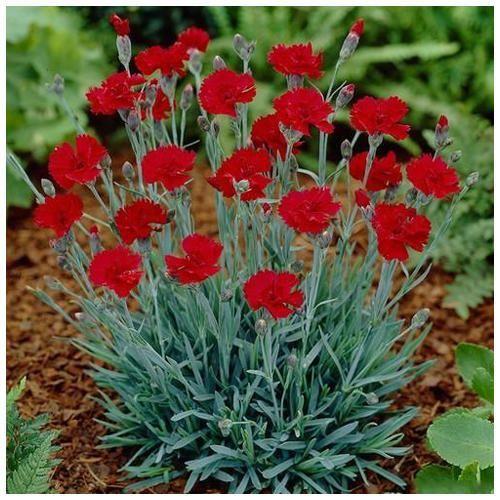 https://5.imimg.com/data5/QE/WG/MY-28421283/carnation-flower-plant-500x500.jpg