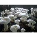 Natural Organic Mushroom Spawn, Packaging Type: Pp Bag, Pack Size: 500 Grams
