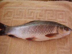 Fish Raho