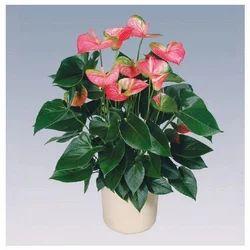 Pandola Anthurium Pot Plant