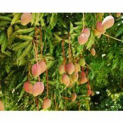Mangifera Indica Tree