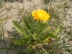 Calendula Officinalis Extract