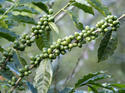Coffee Bean Extract 45%