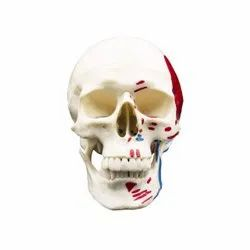 Human Skull With Colored And Painted Muscle