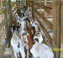 Profitable Goat Farming Equipments Machine
