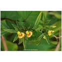 Horticultural Impex Natural Stylosanthes Hamata, Pack Type: Packet, Pack Size: 1 Kg