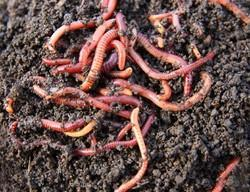 Vermicompost Earth Worms