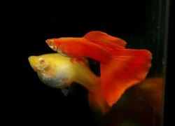 ALBINO Red Guppy Fish