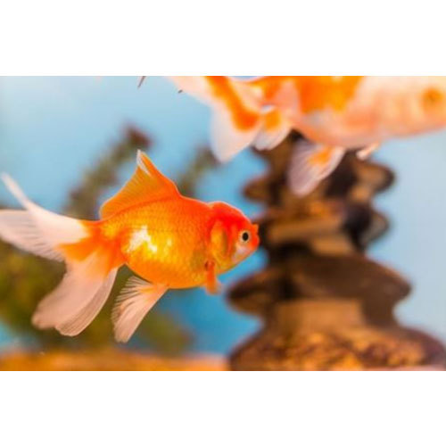 Gold Fish Size 2 And Small