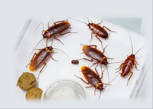 in Home Residential Cockroach Control, in chandigarh, | ID: 21668107573