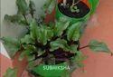 Beetroot in Grow Bags