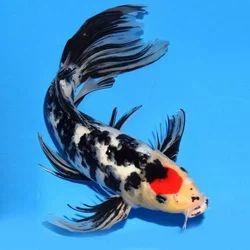 Black White Koi Carp Aquarium Fish, Size: 3 Inch