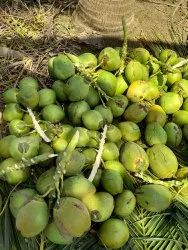 A Grade Solid Tender Coconut, Packaging Size: 50 Kg