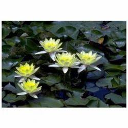 Aquatic Plants Wholesale Price For Aquatic Plants In India