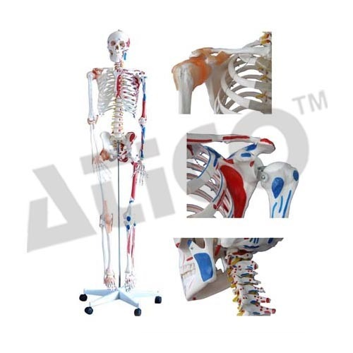 ATICO Plastic Human Skeleton With Muscles And Ligaments