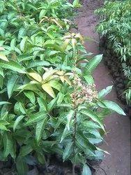 Full Sun Exposure Organic Baramasi Mango Plants