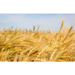 Natural Wheat Seed, For Animal Feed