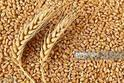 Indian Wheat, Speciality-high In Protein