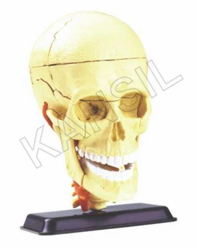 Cranial Nerve Skull For Anatomy Model, Anatomical Models - N. C. ...