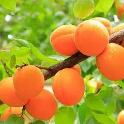 Prunus Armeniaca Cold Pressed Apricot Oil, For More