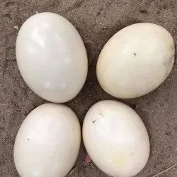 Cream Ostrich Eggs for Business, Packaging Type: Crate
