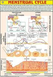 Menstrual Cycle  For Human Physiology chart