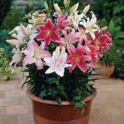 Lilium Bulbs Plant, For Garden, 30 to 45 Days