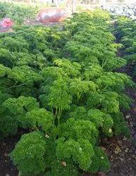 Broccoli Cauliflower Tree