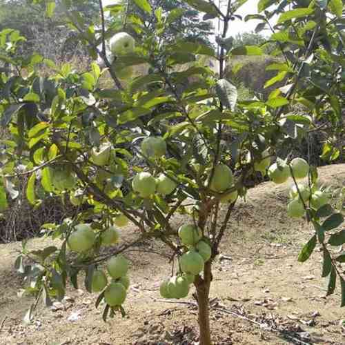 Guava Plant - Yellow Guava Plant Producers from Lucknow