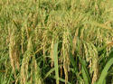Hybrid Rice Seed, For Agriculture, Packaging Type: Packet