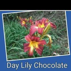 Daylily Flower Bulbs