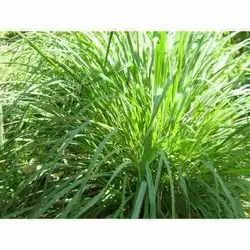 Lemon Dry Grass