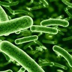 Bifidobacterium Probiotic